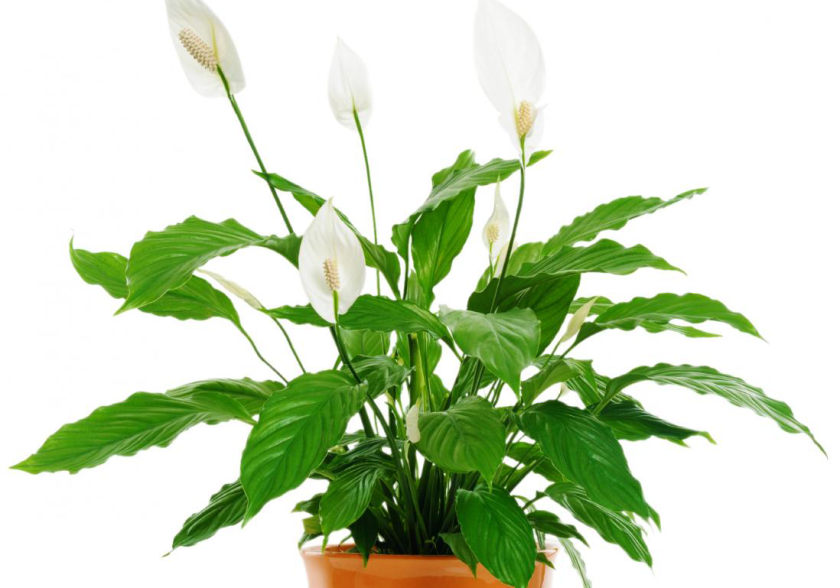 japanese-peace-lily